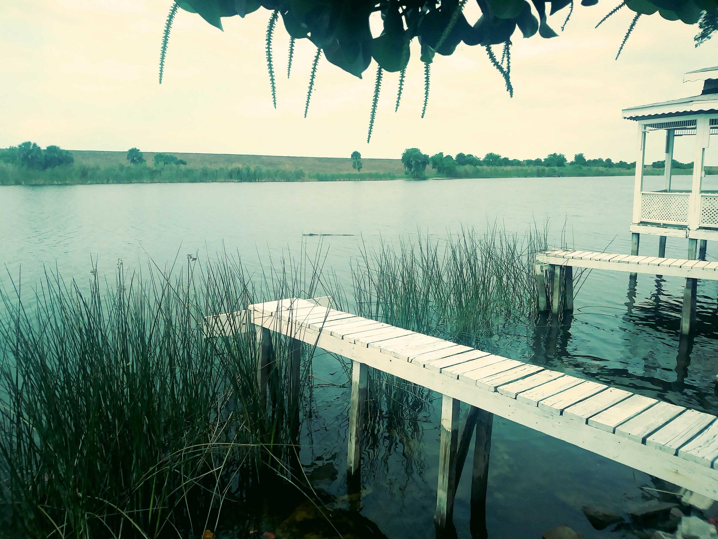 alligator swims past the lakeside gazebo behind the tiny house village